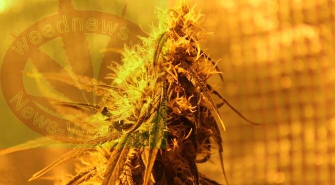 Kiffer Studie sucht Cannabis Konsumenten