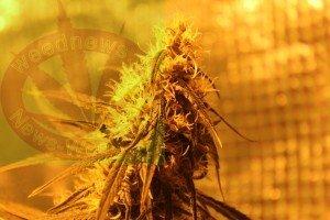 Weednews erklärt Cannabis für jedermann