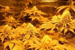 Viele kleine Cannabis Blueten