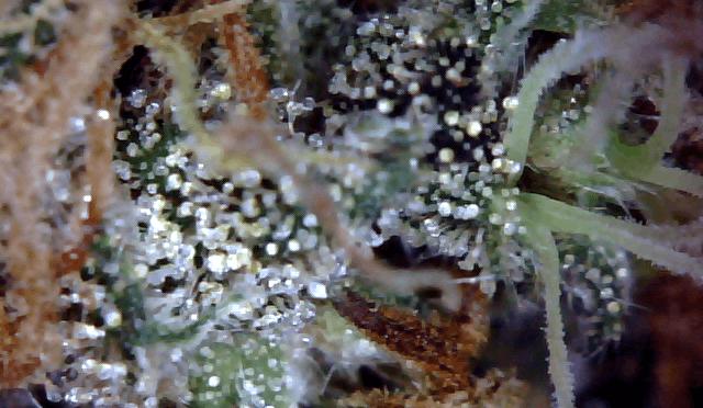 CBD: Das neue Supercannabinoid?