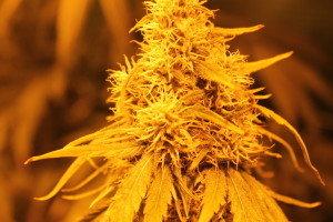 Cannabis in Österreich wächst rasant