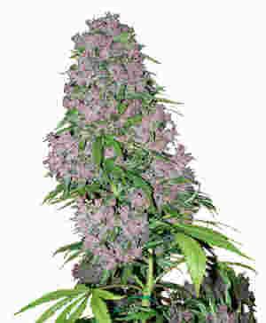 Weibliche Cannabis Sorte Purple Bud