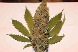 Große dicke Weed Blüte