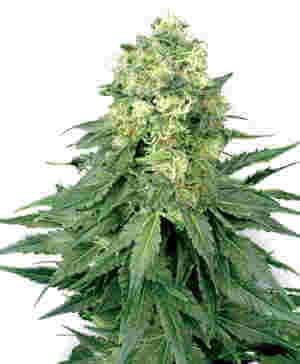 Bild einer weiblichen White Widow Cannabis Pflanze