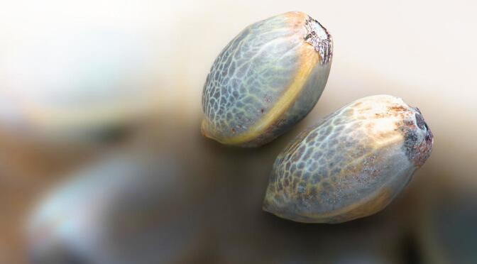 Der richtige Cannabis Samen für Anfänger