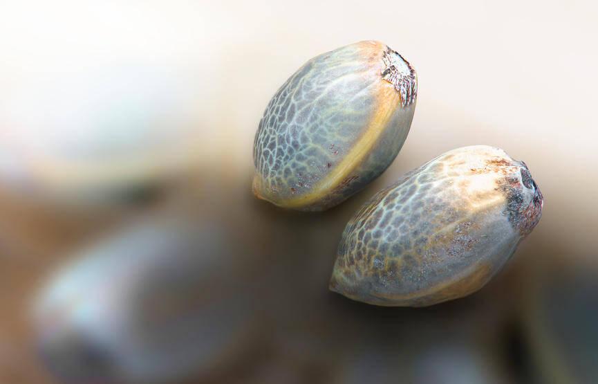 Cannabis Samen auf einem Tisch