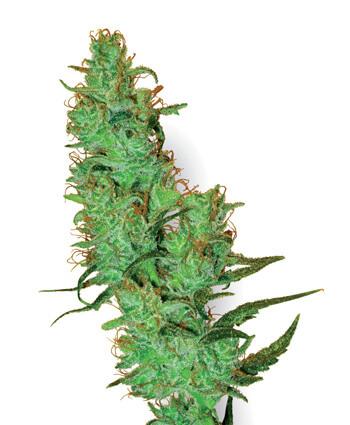 Jack Herer Cannabis Samen von Sensi Seeds
