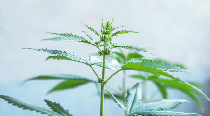 Die männliche Hanfpflanze