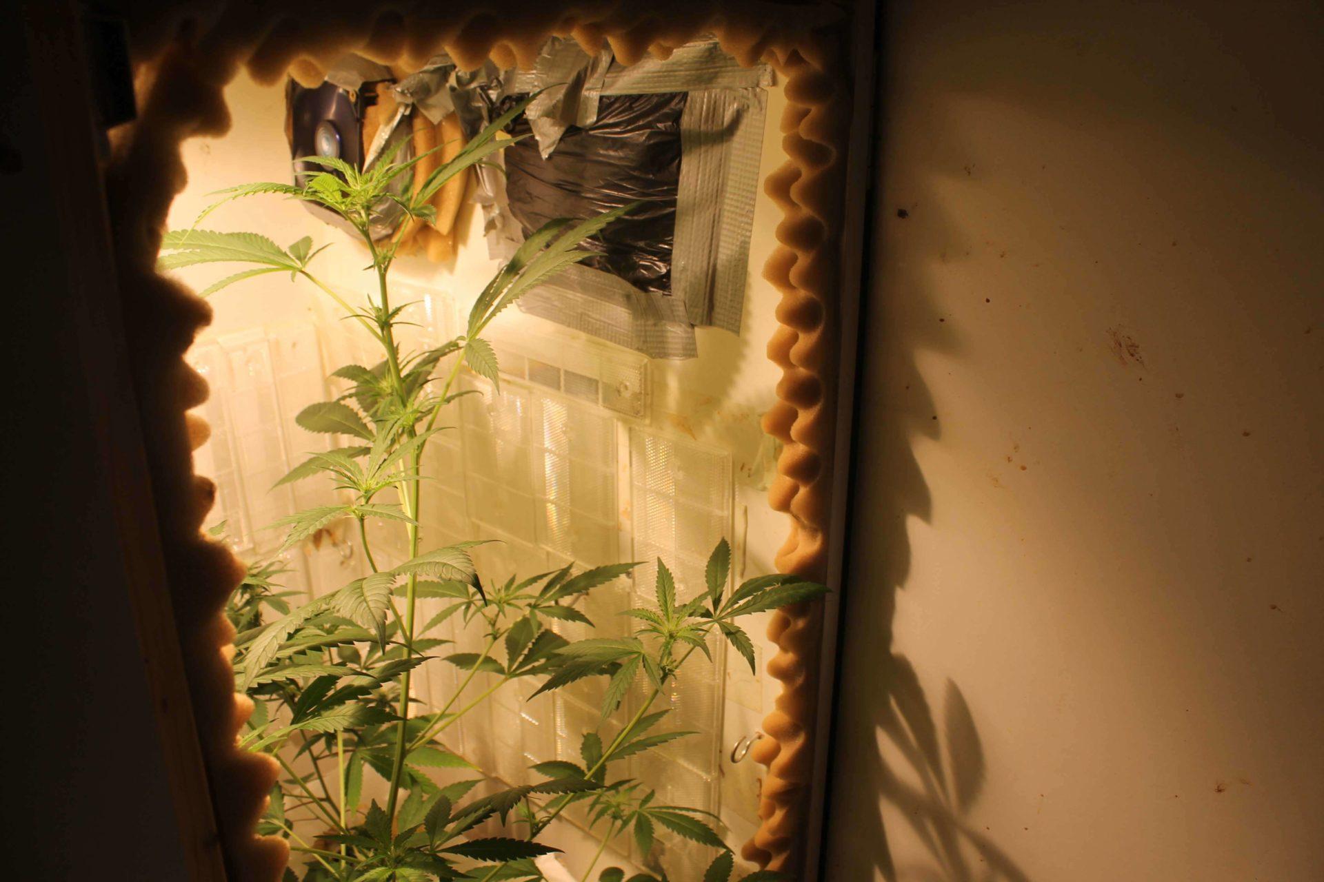Cannabis Growschrank bei der Arbeit
